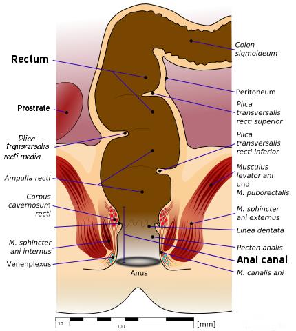 anatomia rectului